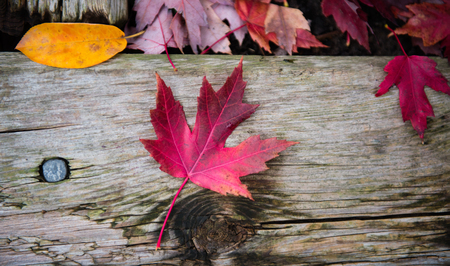 Fall or autumn red maple leaf on rustic background. Nature scene, toned image