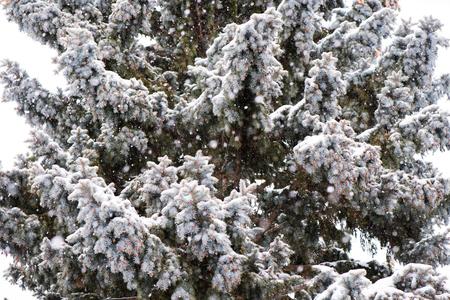 Spruce tree in snow, large snowflakes, winter scene. Stockfoto