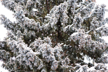 Spruce tree in snow, large snowflakes, winter scene. 免版税图像