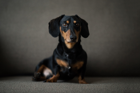 Dachshund, pure bred miniature dog siting on a sofa, black and tan, selective focus Stockfoto
