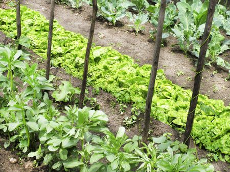 cabbage patch: An organic vegetable garden in a rural setting Stock Photo