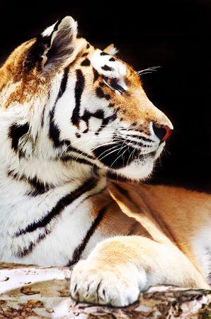 A sumatran tiger in a jungle setting photo