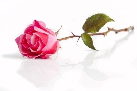 A beautiful rose on white background with soft reflection Stockfoto