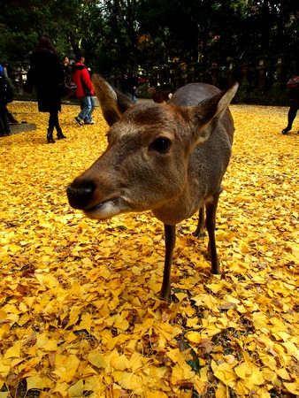 come in: Deer in Nara, Japan when autumn come. Stock Photo