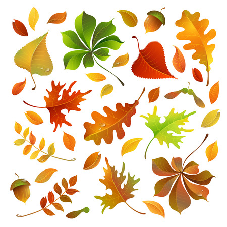 Vector set of colorful autumn leaves. Oak, maple, birch, rowan, chestnut leaves and acorn for your design isolated on white background.