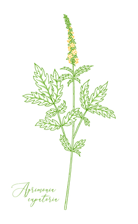 Agrimony. Healing herb with green with pinnate leaves and tiny yellow flowers. Outline drawing. Stok Fotoğraf - 104014425