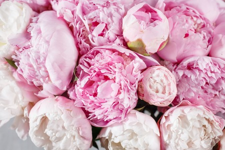 pion: fresh bright blooming peonies flowers with dew drops on petals Stock Photo