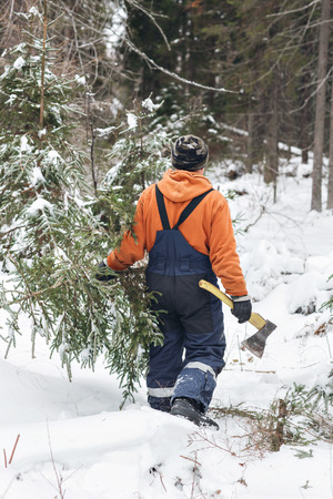 hatchet man: A man with an ax in the hands of carries a Christmas tree in the winter forest