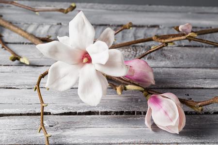 wilting: flowers magnolia on wood table. Magnolia stellata . Still life.