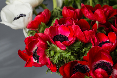Close-up of a white and red poppies anemones in vase. Many flowers - gray background. winter flower
