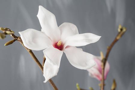 wilting: flowers magnolia in glass vase. Magnolia stellata . Still life.