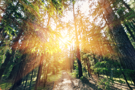 Sun breaking through pine trees. elective focus on the foreground Stock Photo - 81615123