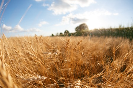 Wheat field. Ears of golden wheat close up. Rural Scenery under Shining sunset. close-up selective focus