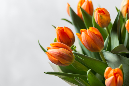 Beautiful orange and yellow tulips on light gray wall. Flower background. Warm colors. copy space