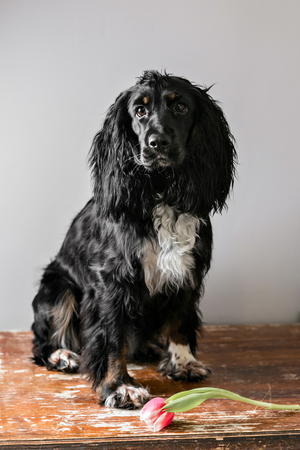 Portrait of a purebred russian spaniel in a studio. Black dog. Pink tulip