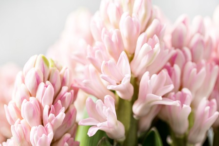 Still life flower hyacinth. Bulbous plant, which grows in the garden area and in the home. closeup Stockfoto