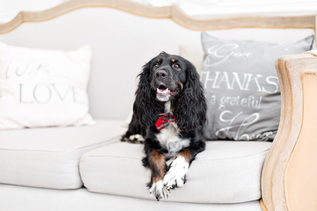 Dog spaniel in a red bow tie in the interior of the light room. Pet is three years old sitting on a chair. Red checkered necktie. best and faithful friend