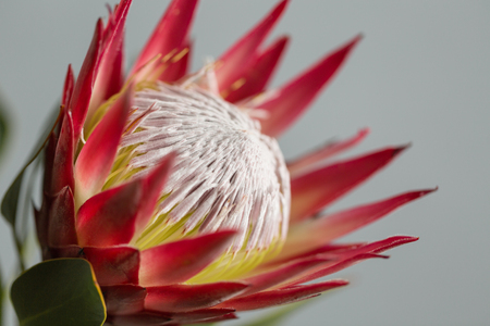 One large flower King Protea. Grows in South Africa. Gray background.