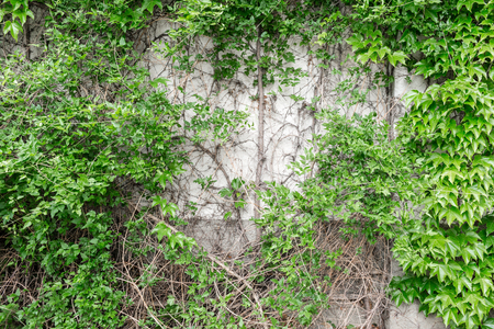 Closeup of brick wall with green ivy. Outdoor on the summer patio. Small townhouse perennial summer garden. Vienna, Austria.