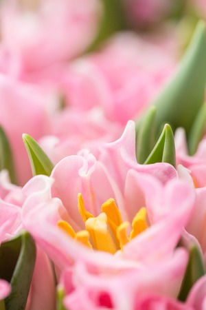 Tulips of pink color. Big buds. Floral natural backdrop. Unusual flowers, unlike the others. Shallow focus. Wallpaper, Vertical photo