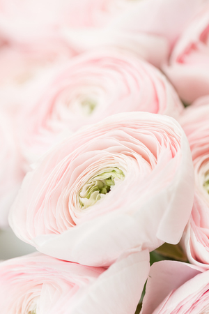 many layered petals. Persian buttercup. Bunch pale pink ranunculus flowers light background. Wallpaper, Vertical photo