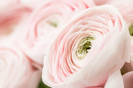 many layered petals. Persian buttercup. Bunch pale pink ranunculus flowers light background. Wallpaper, Horizontal photo