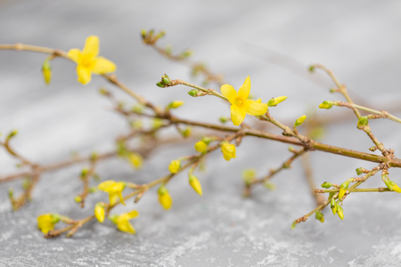 Yellow forsythia suspensa spring. Flowers bloom from buds on the branches. gray background