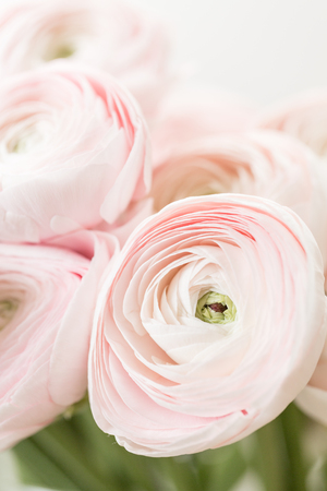 Bunch pale pink ranunculus flowers light background. Wallpaper, Persian buttercup.