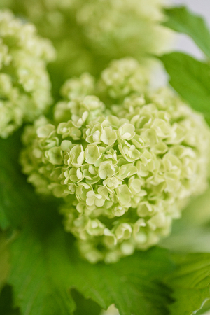 Viburnum branch with green buds in glass vase. Love Vintage background with flowers. Wallpapers for phone. close up