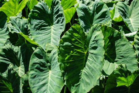 Big green leaves. Aquatic green plants forest in Sao Miguel, Azores. Portug. Wallpaper