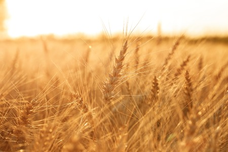 Wheat field. Ears of golden wheat close up. Rural Scenery under Shining sunset. close-up Stock Photo