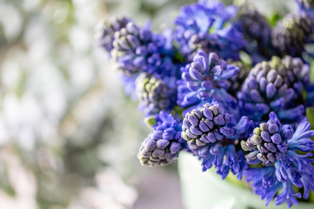 Bouquets of blue hyacinths. Spring flowers from Dutch gardener. Concept of a florist in a flower shop. Wallpaper. Stok Fotoğraf
