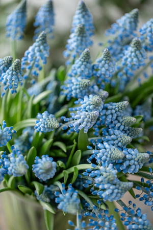 Bouquet of blue muscari flowers in glass vase on wooden table. Spring bulbous flowers. Flower shop concept