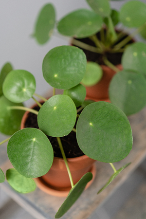 Pilea peperomioides. Chinese money plant or pancake plant. Young Pilea in brown ceramic pot on wooden table against a gray background. Trendy interior design and decoration. 版權商用圖片 - 123137759