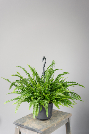 Nephrolepis plants, fern. Stylish green plant in ceramic pots on wooden vintage stand on background of gray wall. Modern room decor. sansevieria plants Stock Photo