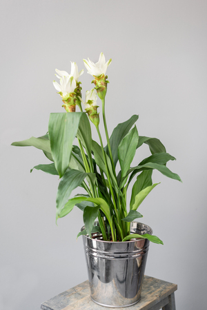 Turmeric is a flowering plant, Curcuma longa of the ginger family. Stylish green plant in ceramic pots on wooden vintage stand on background of gray wall. Modern room decor. sansevieria plants
