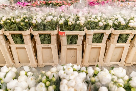 Warehouse refrigerator, Wholesale flowers for flower shops. White peonies in a plastic container or bucket. Online store. Floral shop and delivery concept.