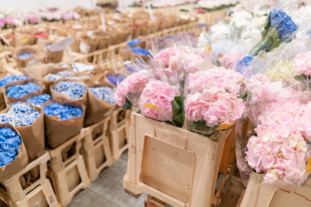 Warehouse refrigerator, Wholesale flowers for flower shops. Blue and pink hydrangea in a plastic container or bucket. Online store. Floral shop and delivery concept.