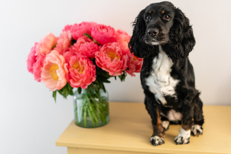 Black dog, Russian Spaniel sitting with Coral peonies in a glass vase. Beautiful peony from floral shop. Flowers delivery. Copy space