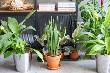 Sansevieria plants. Stylish green plant in ceramic pots. Many different plants in flower pots in flowers store. Garden shop Imagens