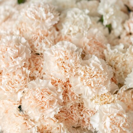 Closeup carnation flowers white pale pink color. Spring background. Clove bunch present for Mothers Day.