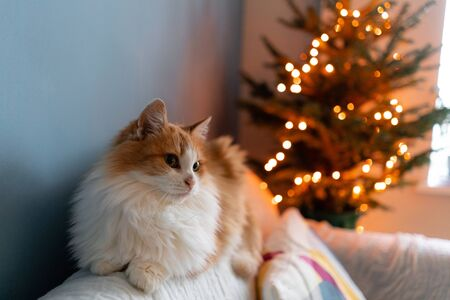 Cute fluffy red and white cat on Christmas tree background. Decorating Natural Danish spruce at home. Winter holidays in a house interior. Light garlands.