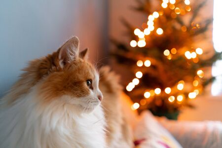 Cute fluffy red and white cat on Christmas tree background. Decorating Natural Danish spruce at home. Winter holidays in a house interior. Light garlands