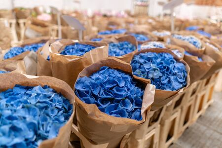 Warehouse refrigerator, Wholesale flowers for flower shops. Blue hydrangea in a plastic container or bucket. Online store. Floral shop and delivery concept.