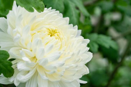 White chrysanthemum closeup on blurred green background. Fresh flowers have not yet been cut. Flower farm