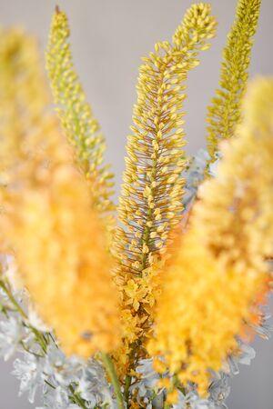 Eremurus flowering ornamental plant, beautiful yellow orange foxtail lily flowers in bloom, Desert Candle flower. Floristry concept. Spring colors Standard-Bild - 150162533