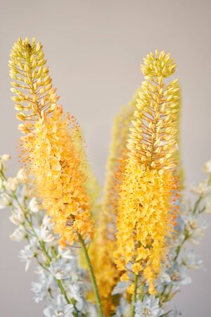 Eremurus flowering ornamental plant, beautiful yellow orange foxtail lily flowers in bloom, Desert Candle flower. Floristry concept. Spring colors 版權商用圖片