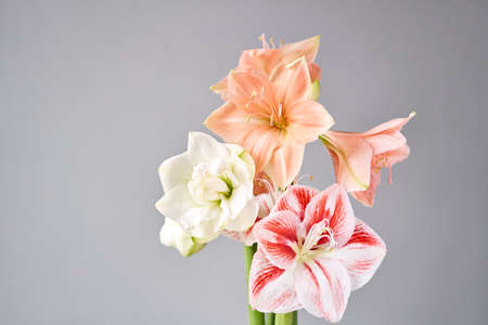 Flowers in big glass vase. Beautiful Blossoms of Amaryllis flower. Wild flowers - Hippeastrum. Vintage background