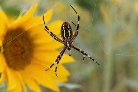 araneidae: Spider sitting on a web and hunts Stock Photo