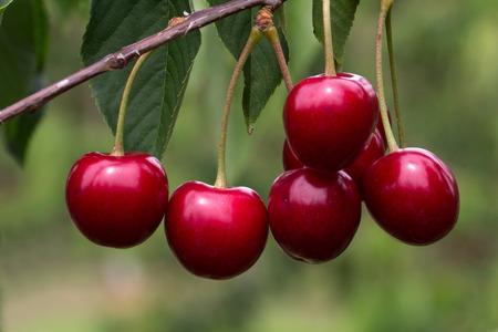 farm fresh: Cherry tree in the Sunny Garden Stock Photo